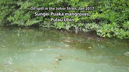 Oil spill in the Johor Strait (5 Jan 2017) at mangroves of Sungei Puaka, Pulau Ubin