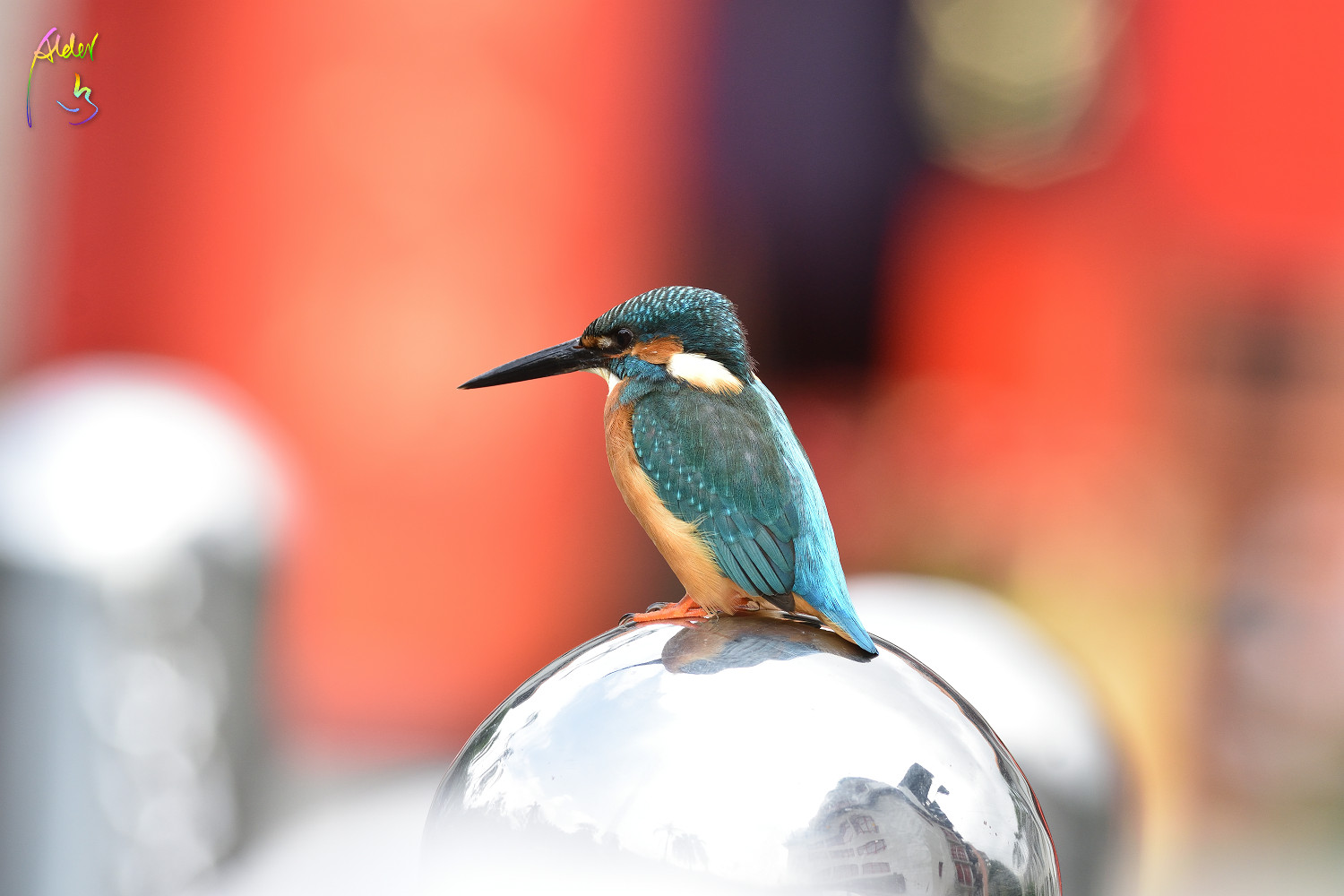 Common_Kingfisher_0657