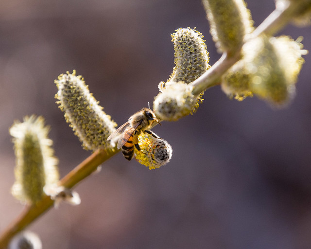 bee on willow catkins