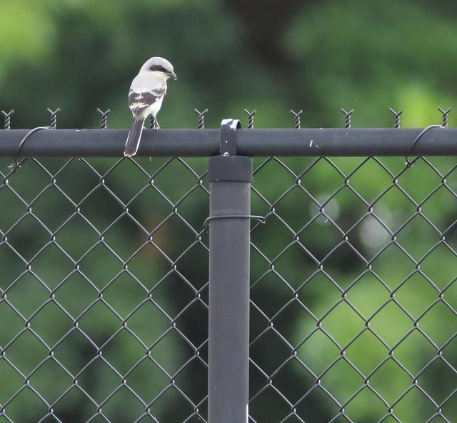 Loggerhead Shrike 20150602