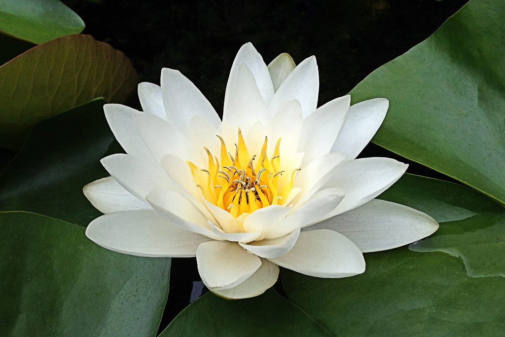 water lily flower  flower, Beautiful flower