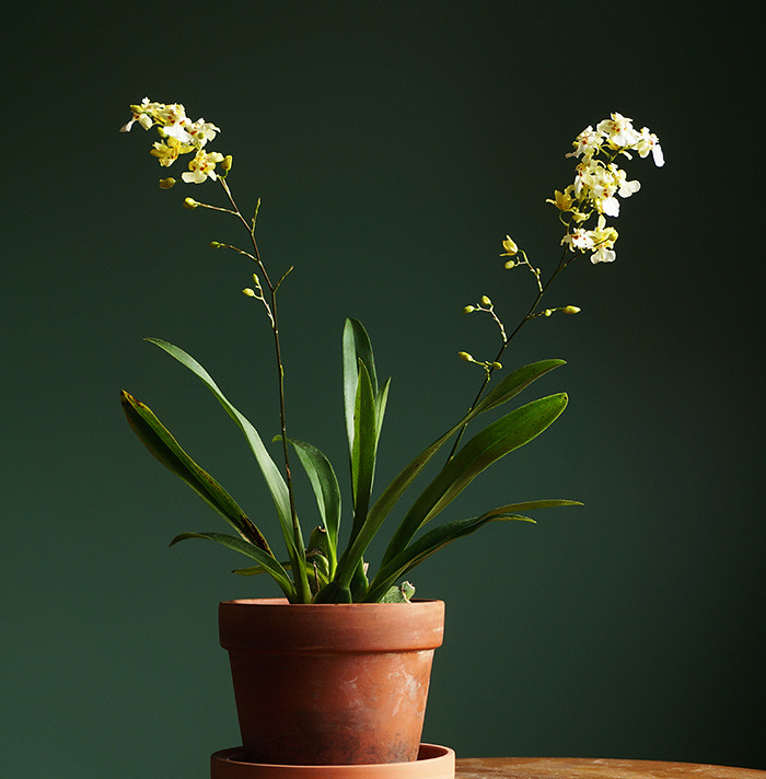 mini-oncidium