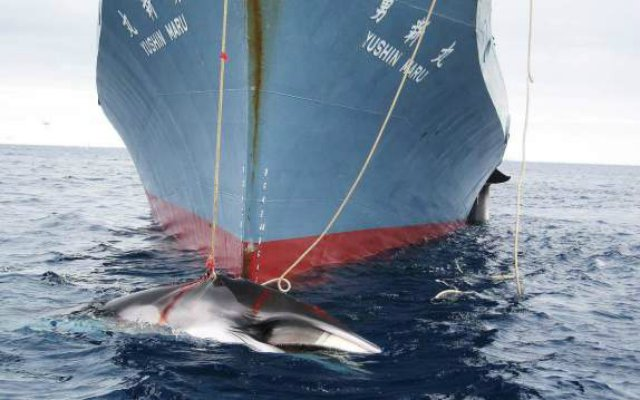 japan-whaling-antarctica