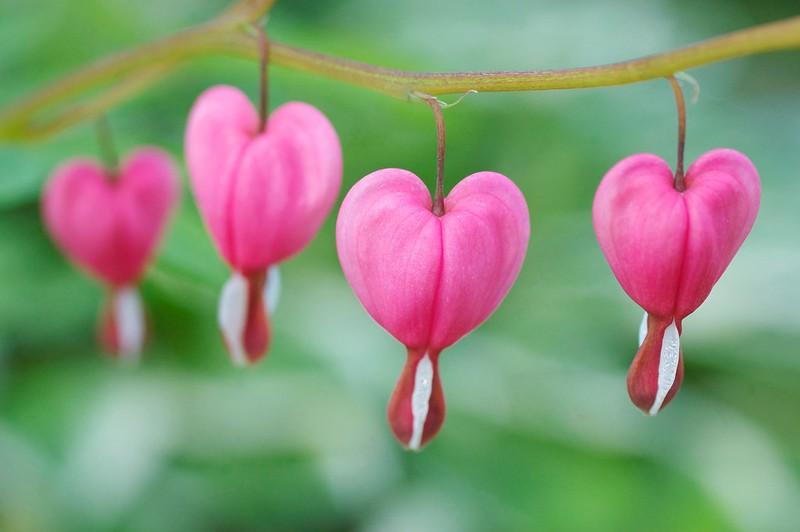 154/365. Lamprocapnos spectabilis ( bleeding heart ).
