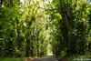 Tree tunnel - Kauai.jpg