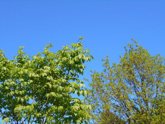 Kiinansaarnin (Fraxinus chinensis var. rhycophylla) ja metsätammen (Quercus robur) lehteentulovaiheita 12.6.2015 Meilahden arboretum Helsinki