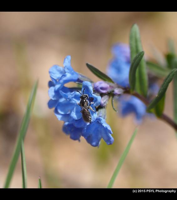 Halictid bee visiting Mertensia brevistyla