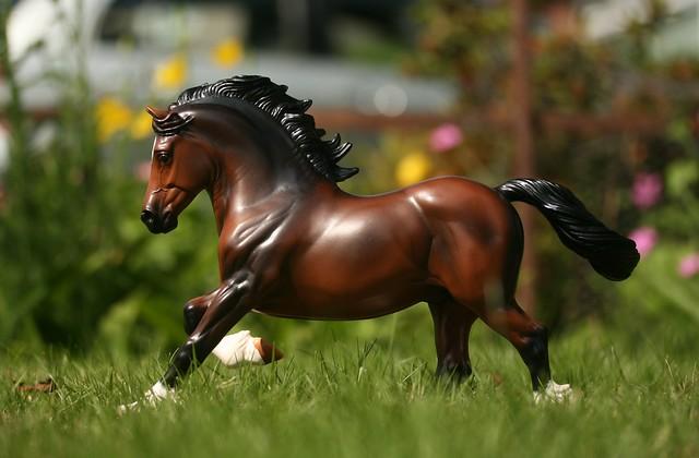 EA Fantastic Mr Copperfox - Welsh Cob - stallion - OF - EG11