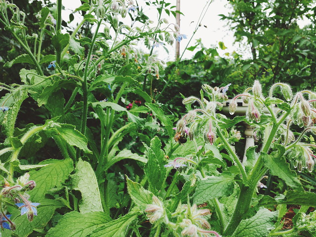 always bees in the borage