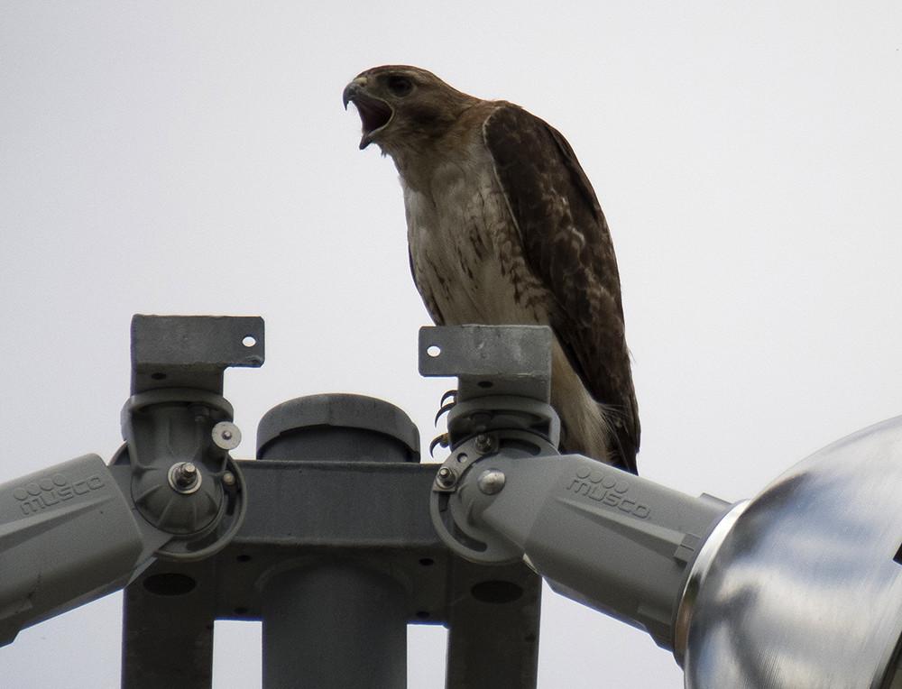 protective pine park papa hawk