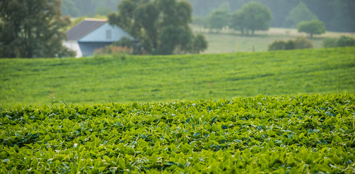 Soybeans growing on a farm