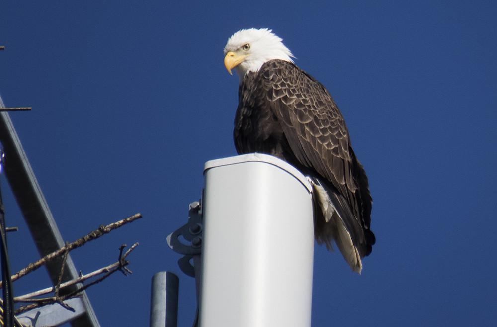 Brick Eagle