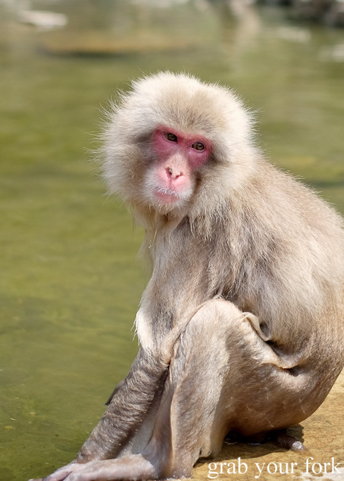 Snow monkey in front of the onsen hot spring in Nagano, Japan