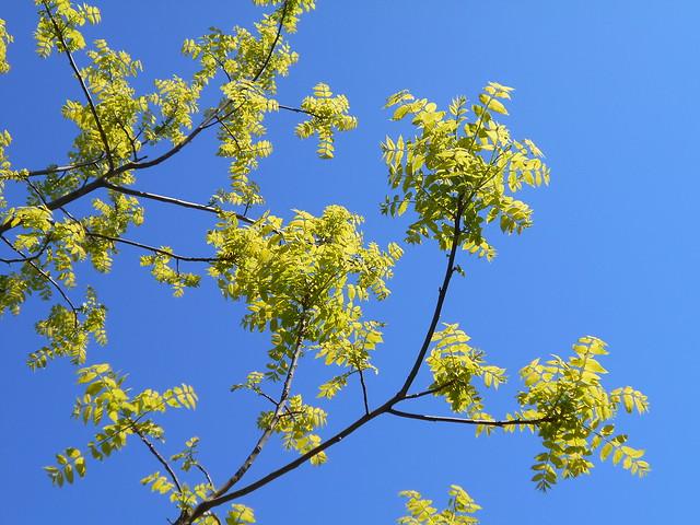 Mustajalopähkinän (Juglans nigra) puolilehtisyyttä 12.6.2015 Meilahden arboretum Helsinki