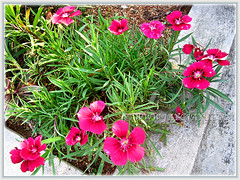Clusters of magenta-coloured Dianthus hybrid in our garden bed, May 4 2014