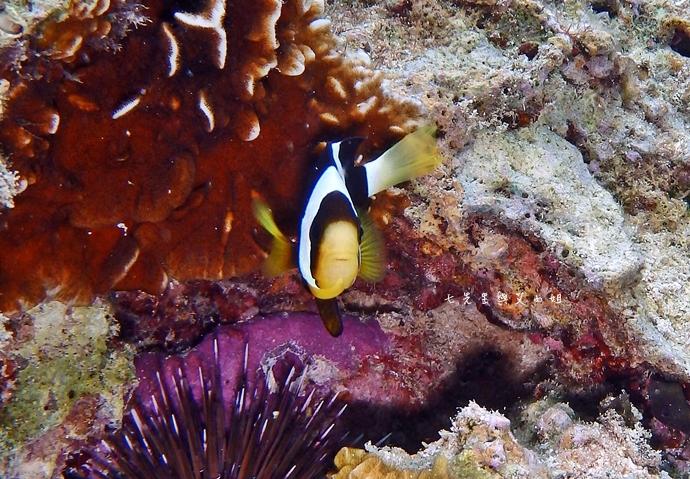 38 沖繩自由行 水上活動 香蕉船 Marine Support TIDE 殘波 藍洞海洋觀光 藍洞浮潛&珊瑚礁 餵食熱帶魚浮潛