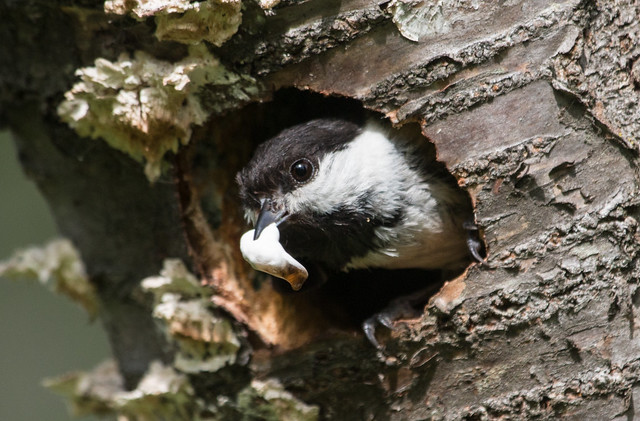 Chickadee with fecal sac