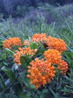 Asclepias tuberosa, Accotink, 7-1-15 | by FritzFlohrReynolds