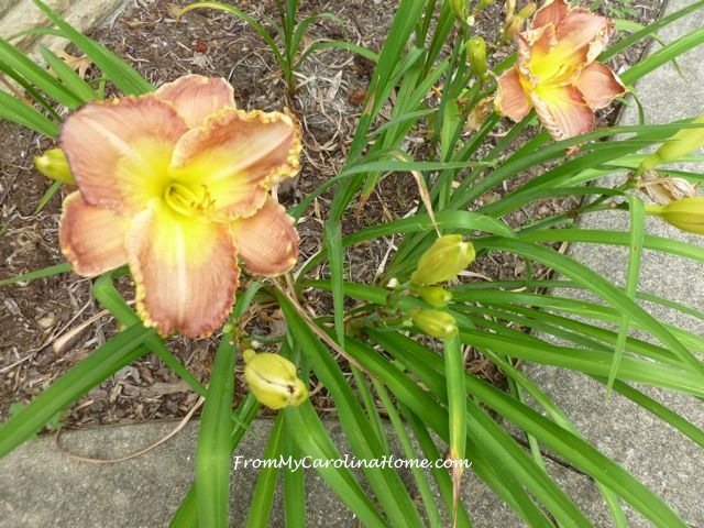 Day Lily June 2015 peach yellow ruffled