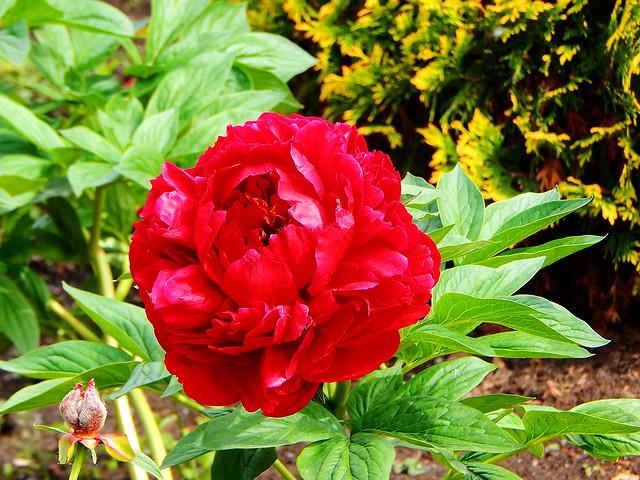 в парке горького цветут красные пионы | horoshogromko.ru