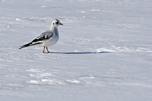 Tupper Lake, NY: Ross's Gull! 3