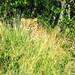Big 5 - Leopard