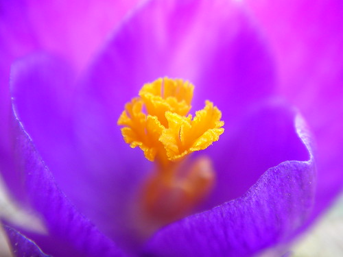 A Purple Spring Flower | by noahg.