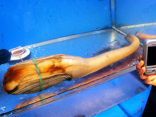 geoduck @ $40/lb | by dave~