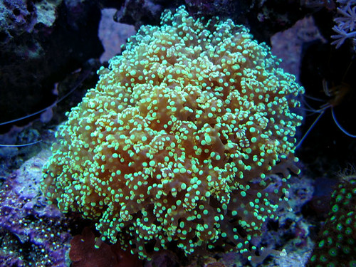 Frogspawn This Is A Frogspawn Coral It Has Electric