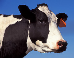 cow | by Royalty-free image collection