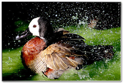 Duck Splash !!! | by Fabio Tieri