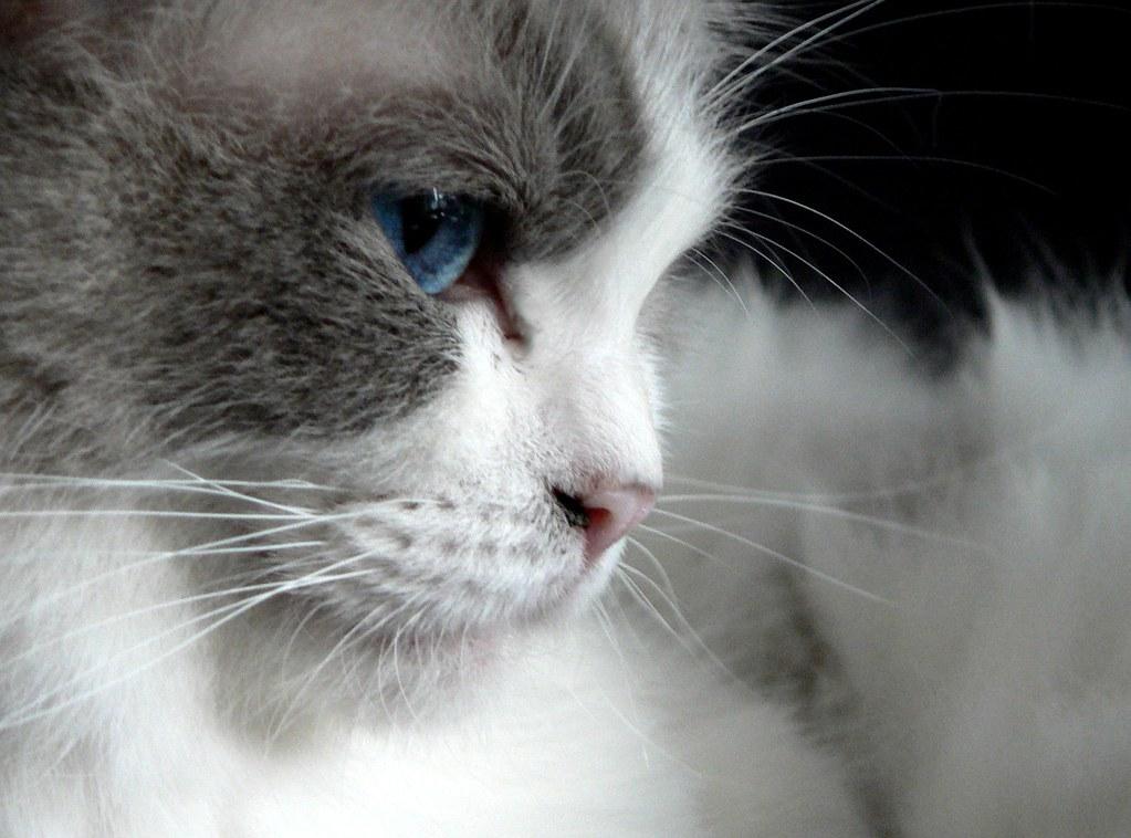Adopt A Ragdoll Cat In Cambridge Ontario