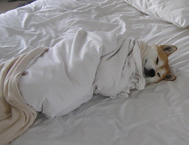 shiba inu śpi włóżku