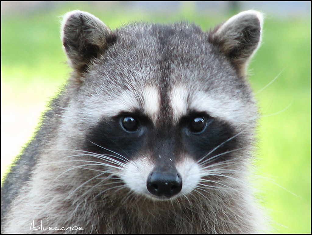 Raccoon visit | This sweet raccoon has adopted me...she ... Raccoons As Pets