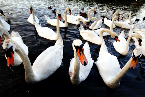 The Swan Gang | by Donncha Ó Caoimh