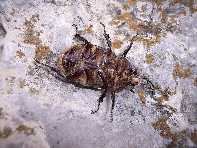hercules beetle belly female belly of female hercules be flickr