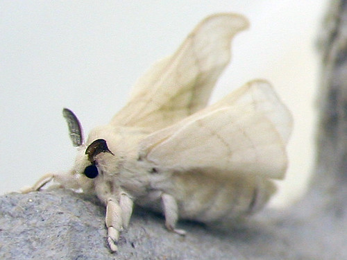 Silk Moth | These guys are soooo cute! These are the type ...