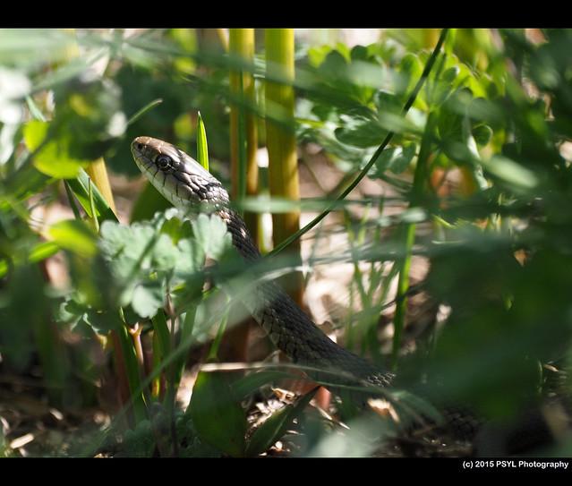 Western Terrestrial Garter Snake (Thamnophis elegans)