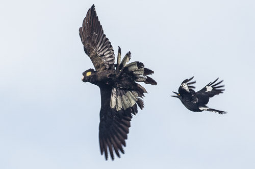 Yellow-tailed Black-Cockatoo vs Pied Currawong