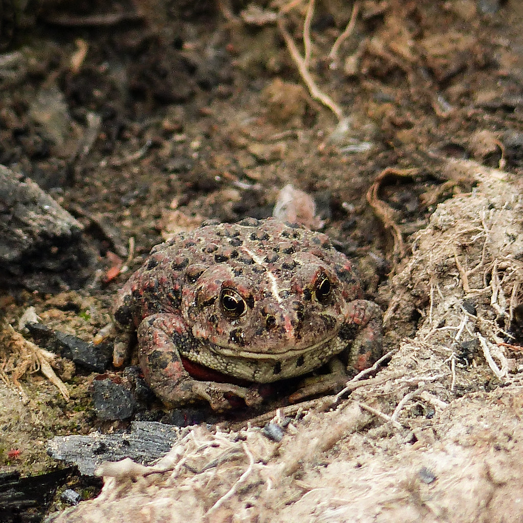 Western toad boreal toad bufo boreas during a day of b flickr western toad boreal toad bufo boreas by annkelliott sciox Image collections