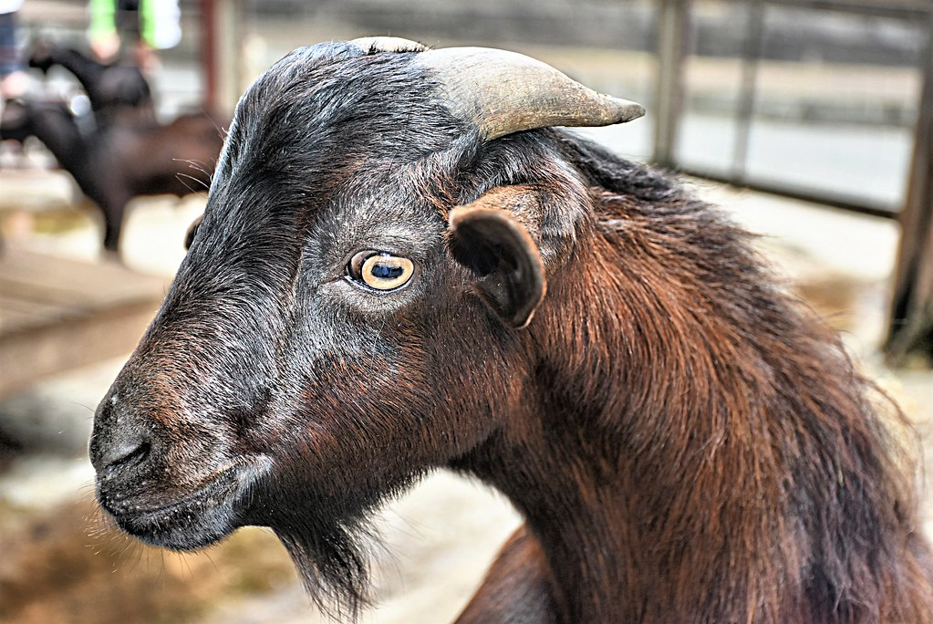 the goat carrying on with animal portraits here is a goat