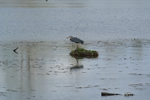 Early Spring Ride - Great Blue Heron: got something