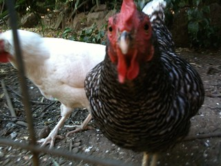 Skeptical chickens, #1