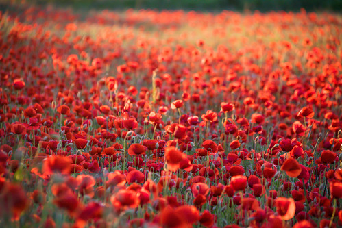 Poppy field | by Infomastern
