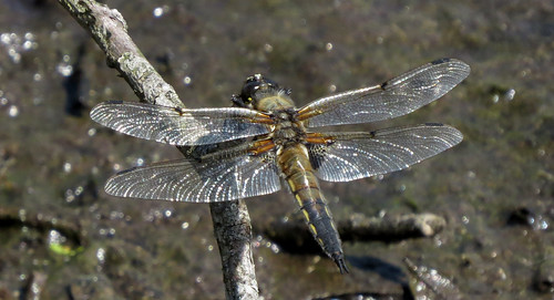Four-spotted Chaser Libellula quadrimaculata Tophill Low NR, East Yorkshire June 2015
