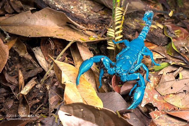 Giant black forest scorpion (Heterometrus sp.) - DSC_5272