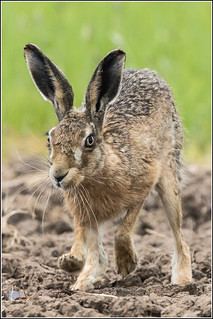 Brown Hare | by Smudge 9000