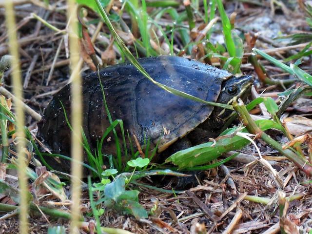 Common Musk Turtle (?) (Sternotherus odoratus)