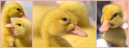 Ducklings // 27 06 15