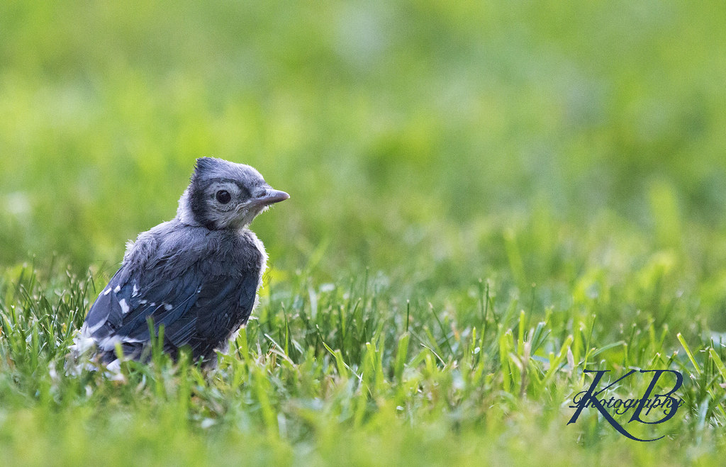 Blue Jay | A baby blue jay had fallen out of its nest and ...